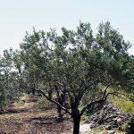 Παγώνι Αίγινα, Pagoni Aegina